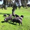 cerdos-ibericos-pastando.jpg
