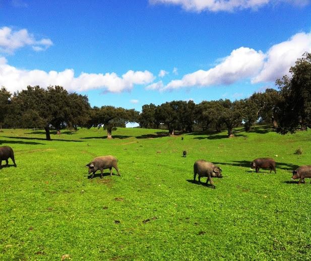 cerdos-ibericos-entre-encinas.jpg